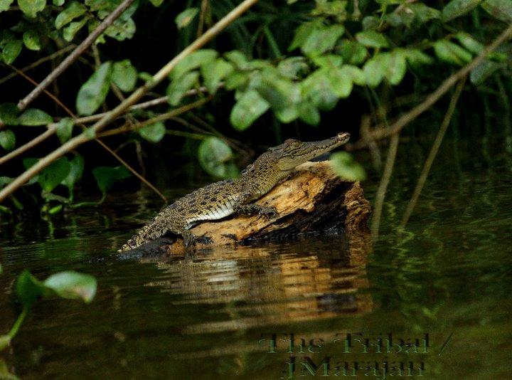 河边晒太阳的小鳄鱼