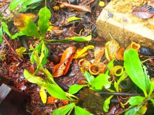 プナン族は森の中で鍋代わりにして ご飯を炊くというウツボカズラ